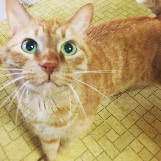 カワイコちゃん#猫 #Cat #茶トラ
