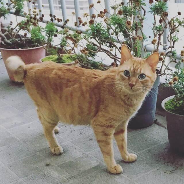 ドヤァーーーー(๑•̀ㅂ•́)و✧ 笑#猫 #Cat #茶トラ