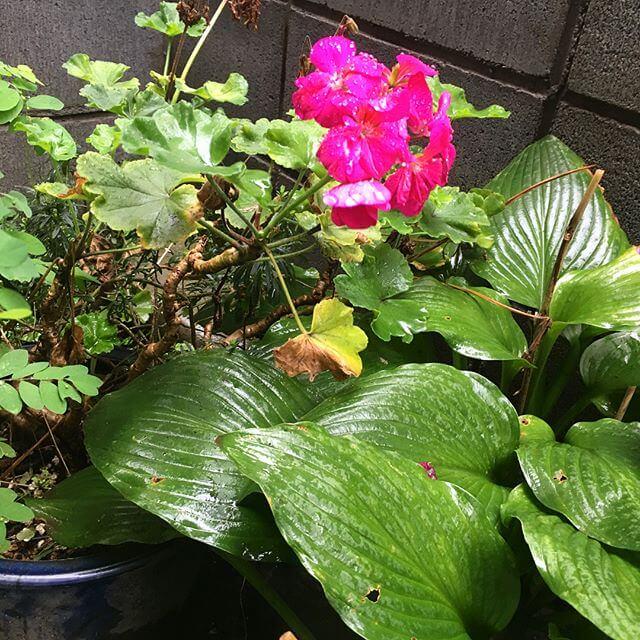 冷たい雨の日ですね️ワタシも泣きながら練習笑秋に珍しい?フューシャ色の花に魅せられました.....#雨 #植物 #花 #緑 #Flower #Color