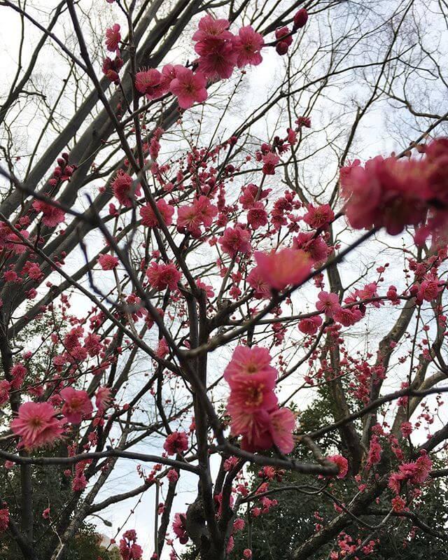先日は「都内の緑」を堪能。梅はもうだいぶ咲いておりビックリ皆様に素敵な春が訪れますように#庭園 #東京 #Tokyo #Garden #梅